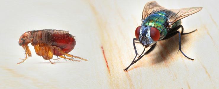 Flies & Fleas