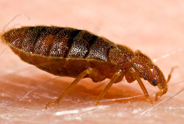 Local Bed Bug Gallery