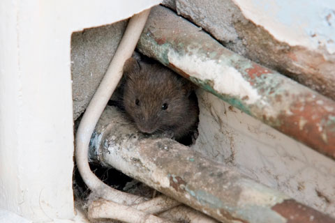 York / Simcoe County, ON Rodent Control Image