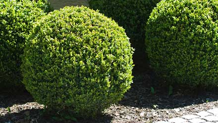 Pest Problem Areas: Shrubs