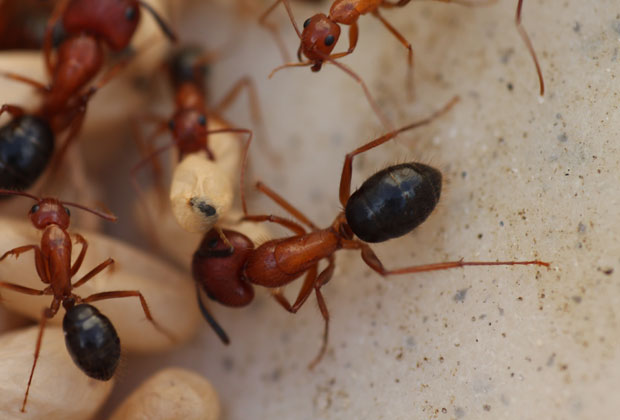Local Carpenter Ant Gallery