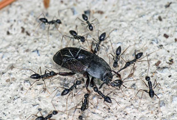 Crazy Ants