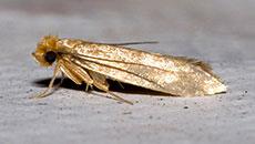 Clothing Moths