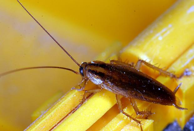 German Roach