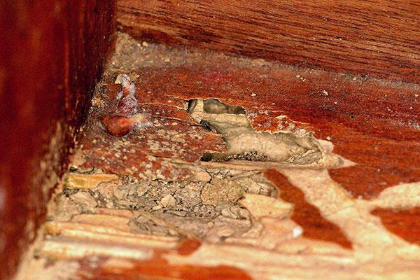 Termite Wood Damage