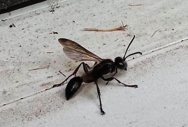 Grass Wasp