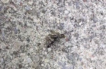 Ant Carrying Dead Ants