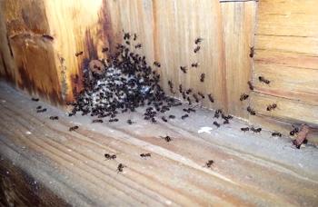 Acrobat Ants