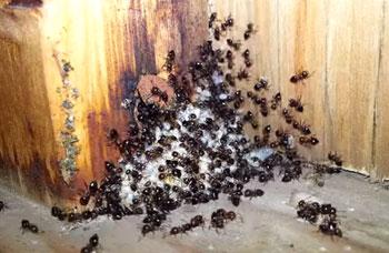 Acrobat Ants in Canada