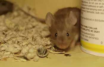 Pest Guide: House Mouse