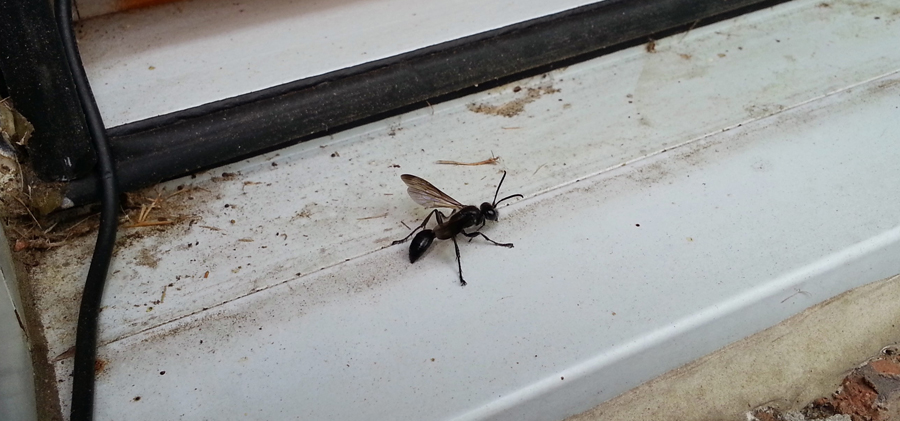 Grass Carrying Wasp