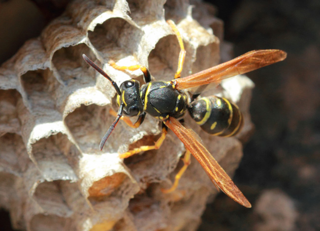 wasp and hornet truly nolen canada