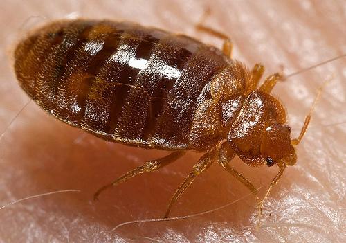 Identify Bed Bugs Signs Truly Nolen Canada