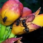 Ants  on a honeysuckle