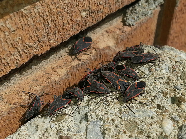 How To Stop Boxelder Bugs From Invading Your Home