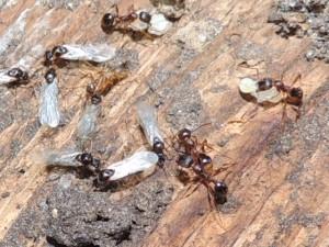 Carpenter Ant Facts Truly Nolen