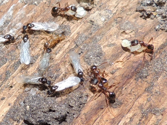 Like most ants they feed on sources of protein and sugar. & Carpenter Ant Facts | Truly Nolen