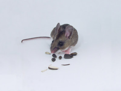 mouse-stock-photo2