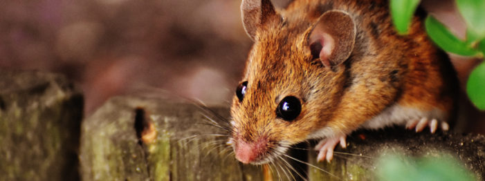 Why Mice Love Canadian Homes
