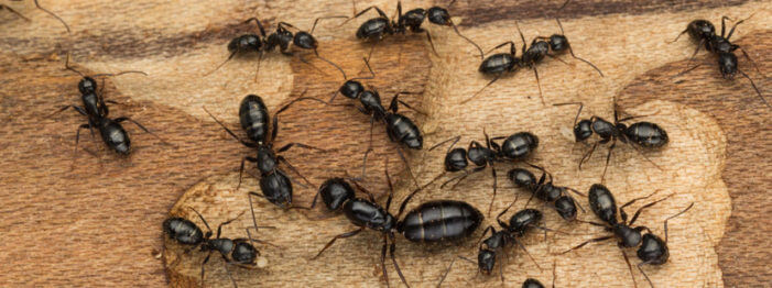 How To Regain Control Of Your Home And Stop A Carpenter Ant Infestation