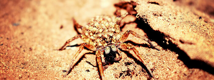 truly nolen blog images How to Get Rid of Wolf Spiders this Summer - How To Get Rid Of Wolf Spiders In The Basement