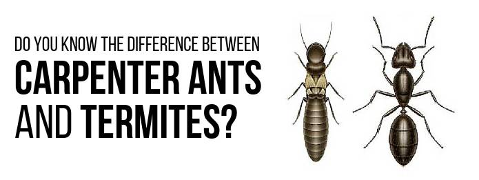 Pest Control: Difference between Carpenter Ants and Termites