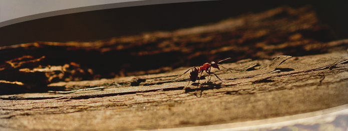 What Does A Carpenter Ant Look like?