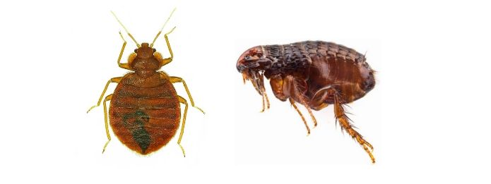 Image of Bed Bugs and Fleas