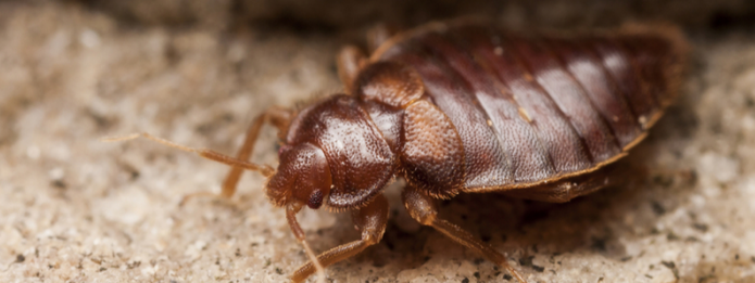 Bed Bugs Getting Stuck in Their Tracks