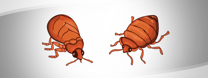 Can Bed Bugs Talk to Each Other