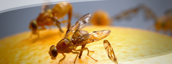 Can Fruit Flies Make You Sick