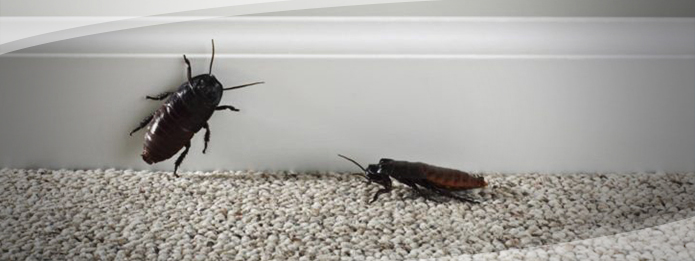 Cockroaches Inside a Home