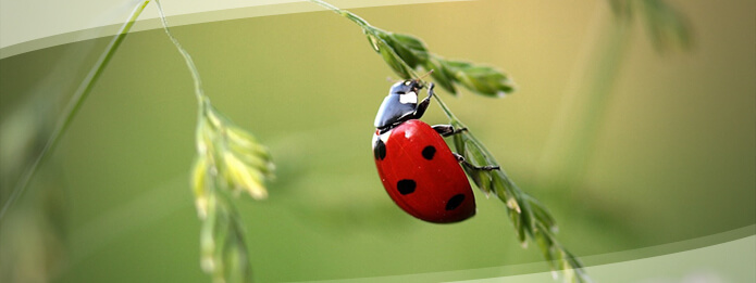 Common Residential Bugs Are Ladybugs Pests