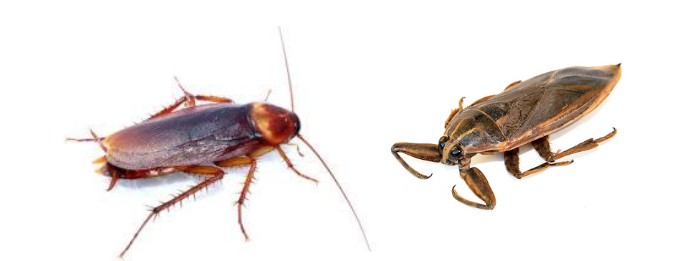 Differences Between Cockroaches and Water Bugs
