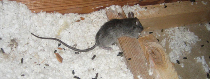 Mice Invading A Home This Fall