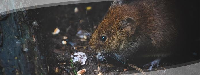 Rats Sense of Smell