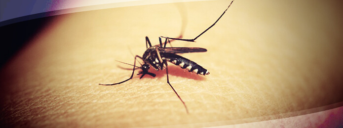 How Do Mosquitoes Survive the Winter