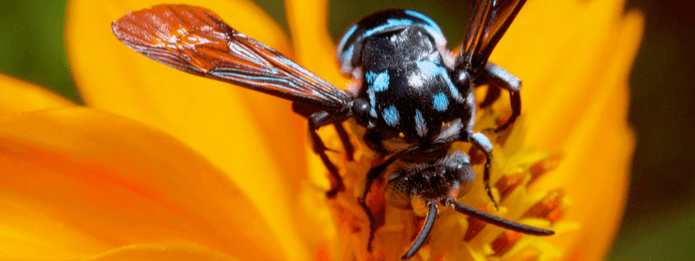 Wasps Are Pollinators