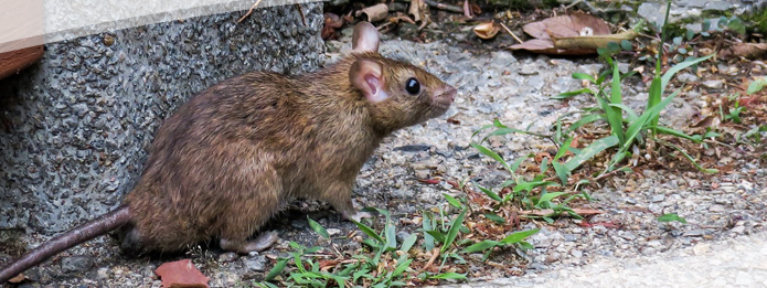 Why You Should Call a Pest Control Company to Remove Rodents