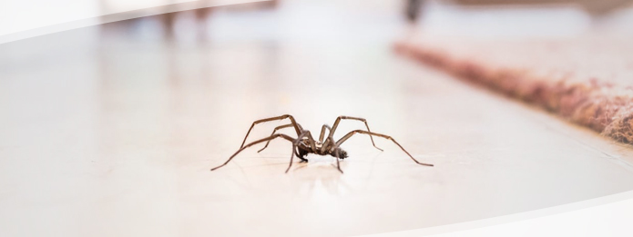 Are the Spiders in Your Home Dangerous?