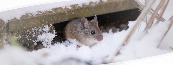 Can Rodents Be Eliminated From Your Home in Winter?