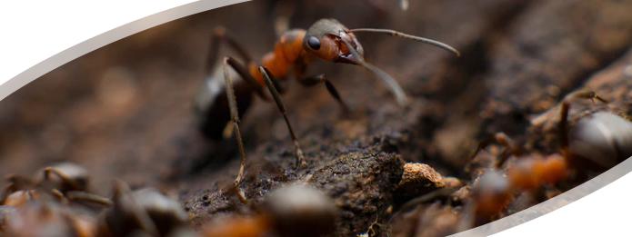 Carpenter Ants- Silent House Destroyers