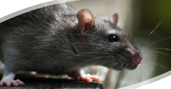 Covid-19 Dilemma- Hungry Rats, Cannibalism, and a Breed of More Aggressive Rats