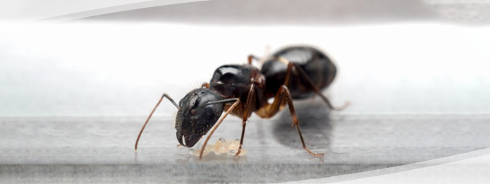 Its Never Too Early to Check Your Home for Carpenter Ants