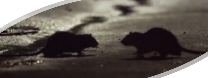 Rodent Sightings Increase Amid COVID-19 Lockdown