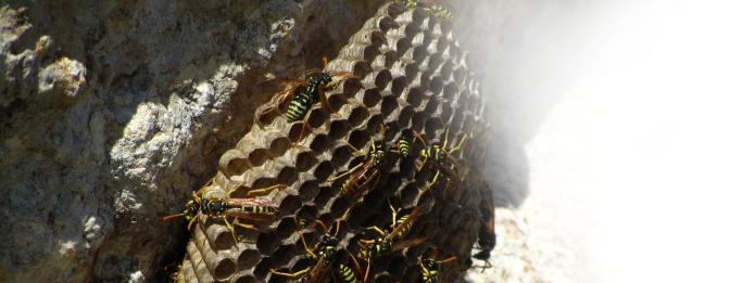 Kitchener Pest Control - What are Wasps up to in Winter