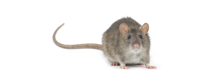 Learn about rat tails from our rodent control experts
