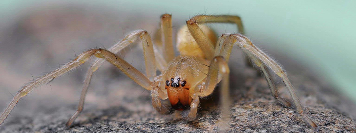 What You Need To Know About Yellow Sac Spiders
