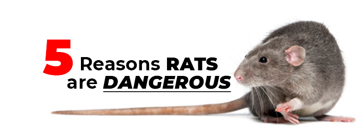 5 Reasons Rats Are Dangerous.jpg