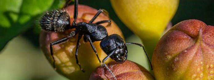 Do Carpenter Ants Bite